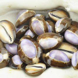 purple top cowrie shells