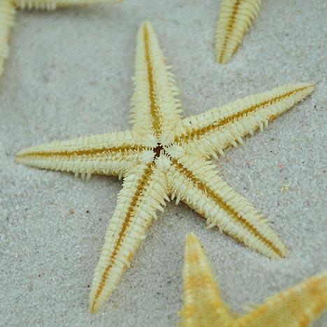 natural baby starfish