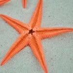 orange baby starfish
