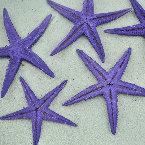 purple baby starfish