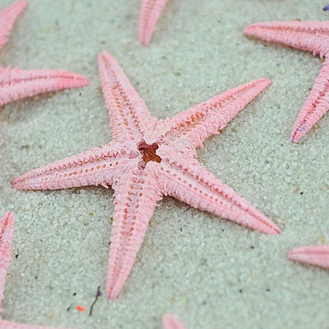 soft pink baby starfish