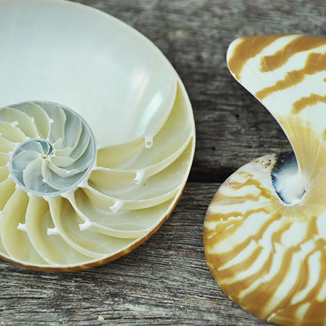 nautilus shell striped half cut