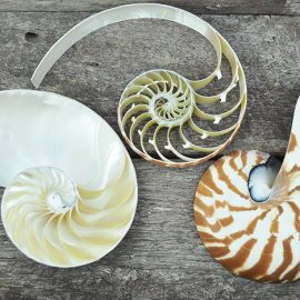 tricut striped nautilus shell