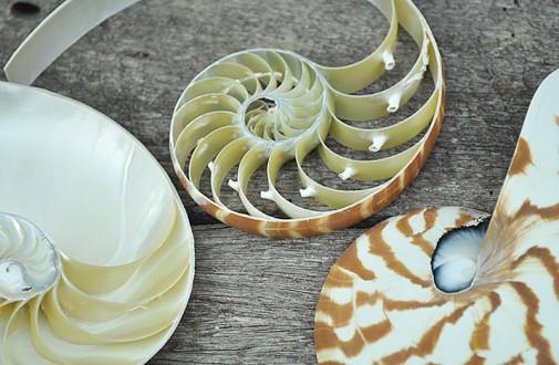 tricut striped nautilus shell