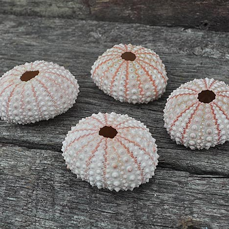 sea-urchin-pink