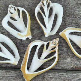 Strombus Canarium Sliced Sea Shells