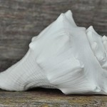 conch-shell-white2
