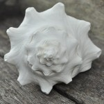 conch-shell-white3