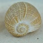 Fig shell (Ficus Gracilis)