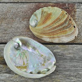 Abalone - Haliotis rufescens medium