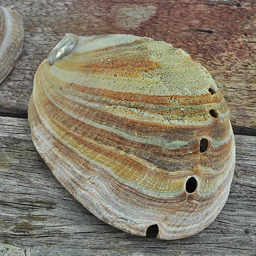 Abalonre - Haliotis rufescens medium