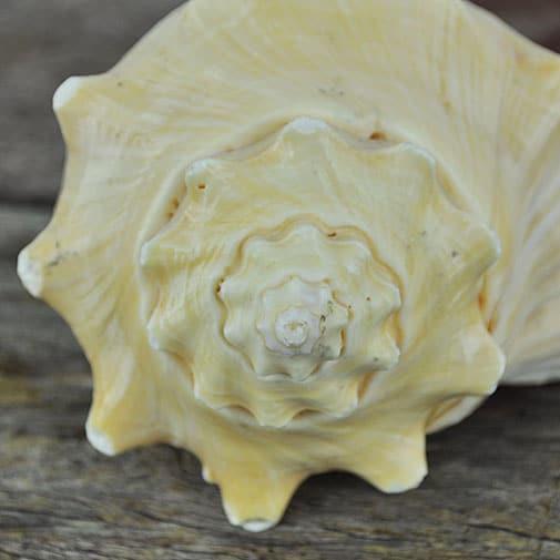 Heavy cream apricot conch