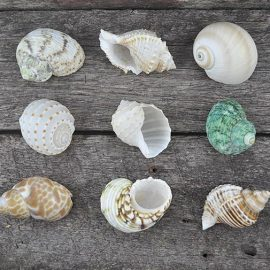 Medium Hermit Crab shells