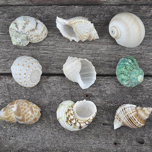 Medium Hermit Crab shells