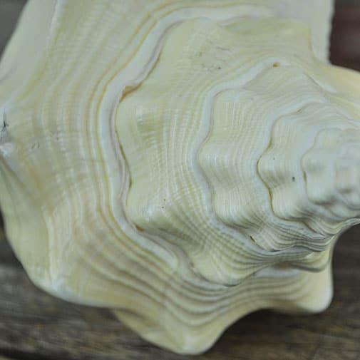 Turbinella shell pale cream