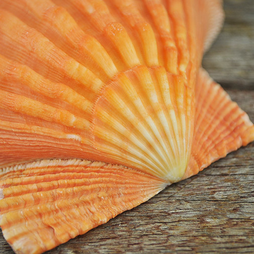 Orange Lionpaw Scallop (Pecten Nodosa)