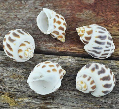 Babylonia Areolata conch