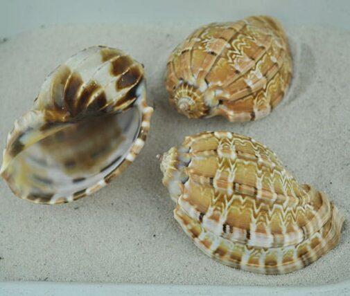 Harpa shell