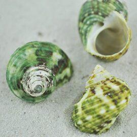 Turbo Brunneus shells