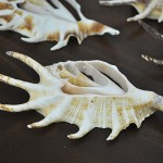 Spider Conch centre cut