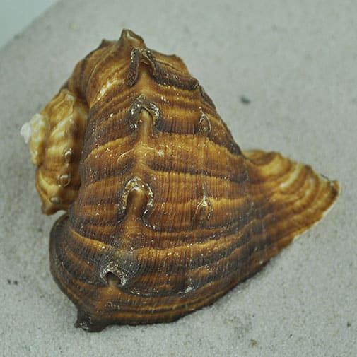 Rapana rapiformis brown conch