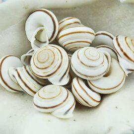 Landsnail white flat round