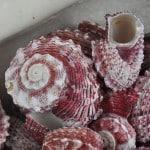 Angaria Delphinus shells