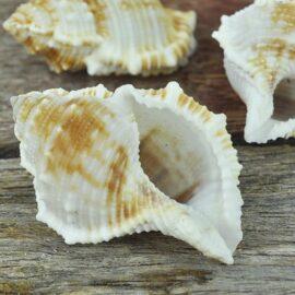 Bursa (Frog) shells