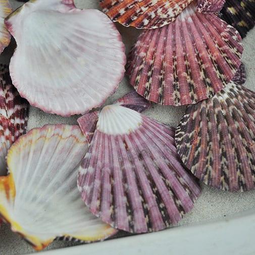 Pecten pallium scallop shells