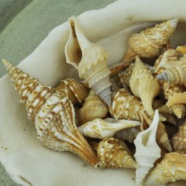 Turris shells