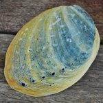 Abalone Haliotis iris natural paua shells