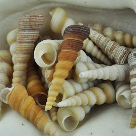 Brown and cream screw shells