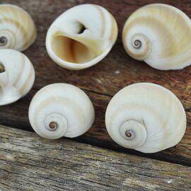 Moon Snails Natica Vitellus
