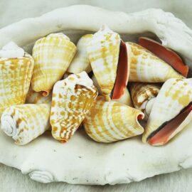 Strombus Luhuanus bulk shells