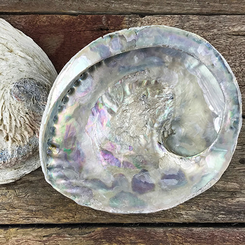 African Paua Shell