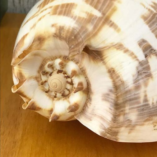 Melo Umbilicatus Baler shell