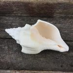 Turbinella Angulata white conch