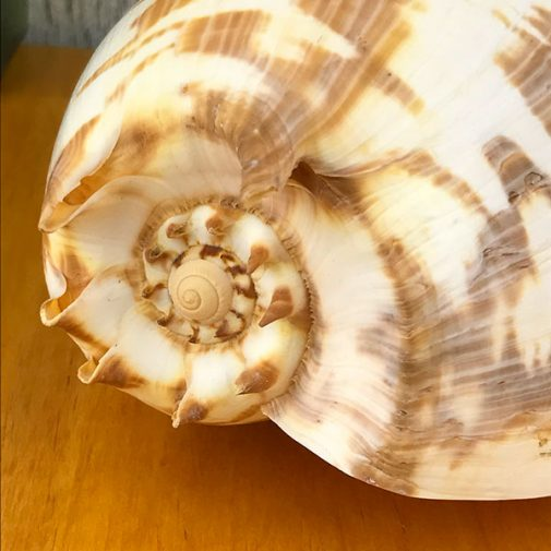 Melo Amphora Baler Shell