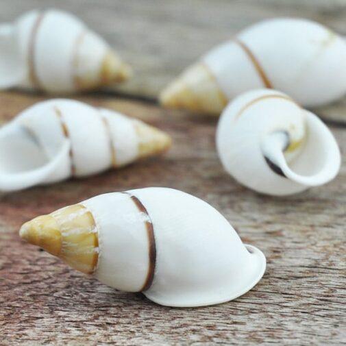 Land snail white long thin brown stripe