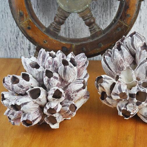 Medium sized Barnacle cluster