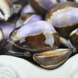 purple top cowrie shells