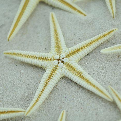 creamy white baby starfish