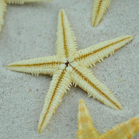 natural baby starfish