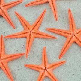 orange baby starfish