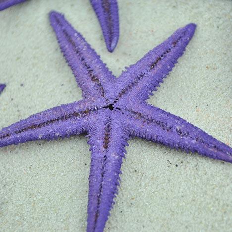 purple baby starfish