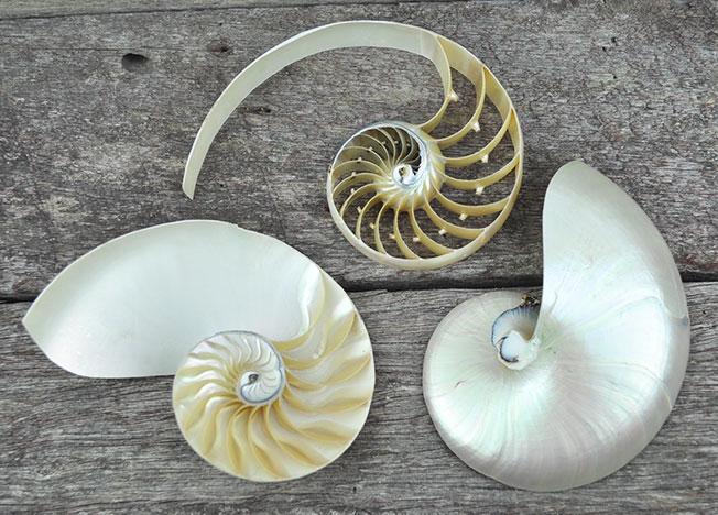 Nautilus Shell Pearled Tri Cut Simply Shells
