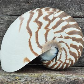 Nautilus shell striped