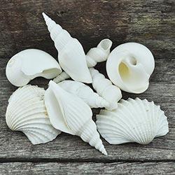 Bulk Seashells