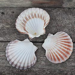 Pecten and scallops