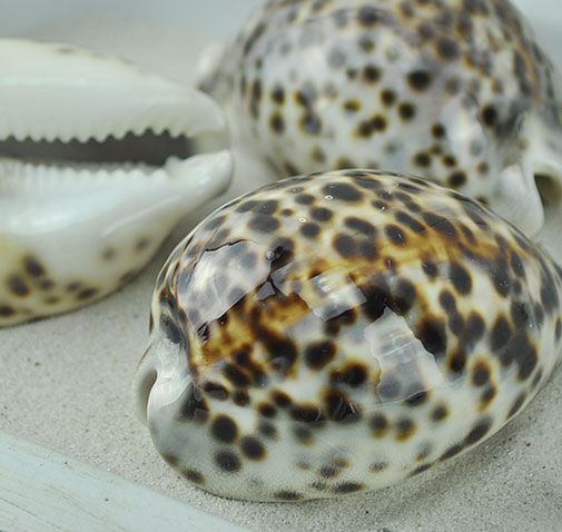 Cypraea tigris - tiger cowrie brown and cream spots